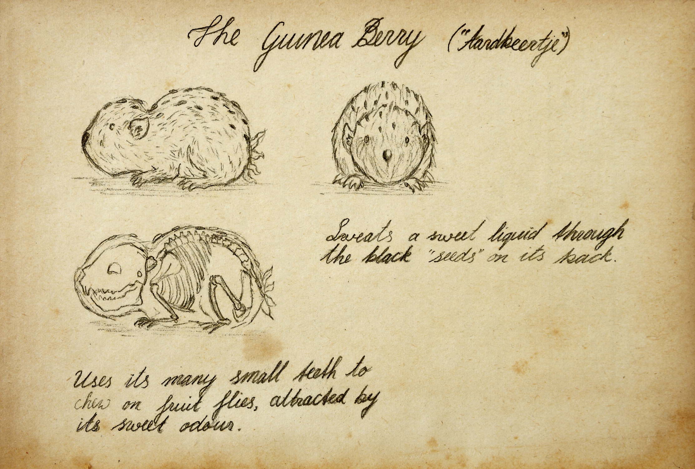Styled character design page for the Guinea Berry / Aardbeertje creature.